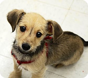 Yorkie, Yorkshire Terrier/Terrier (Unknown Type, Small) Mix Puppy for adoption in Beavercreek, Ohio - Rudy
