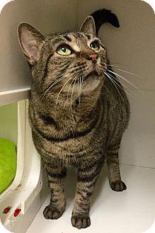 Domestic Shorthair Cat for adoption in Webster, Massachusetts - Chik-Chik