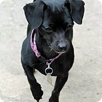 Adopt A Pet :: Chloe - Lynnwood, WA