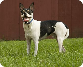 Chihuahua/Jack Russell Terrier Mix Dog for adoption in Reading, Pennsylvania - Oreo