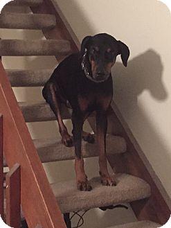 Doberman Pinscher Dog for adoption in Lloyd, Florida - Apollo