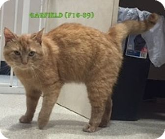 American Shorthair Cat for adoption in Tiffin, Ohio - GARFIELD