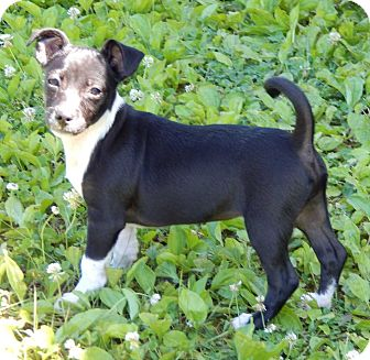 Boston Terrier/Chihuahua Mix Puppy for adoption in SUSSEX, New Jersey - Gere(6 lb) New Pics & Video