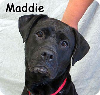 Labrador Retriever Mix Dog for adoption in Warren, Pennsylvania - Maddie