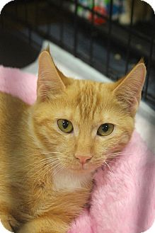 Domestic Shorthair Kitten for adoption in Smithtown, New York - Devina