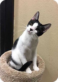 Domestic Shorthair Cat for adoption in Plano, Texas - RITZ - PLAYFUL, SOCIAL CUTIE