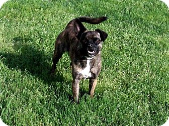 Boston Terrier/Pug Mix Dog for adoption in Texarkana, Texas - Miss PetSmart