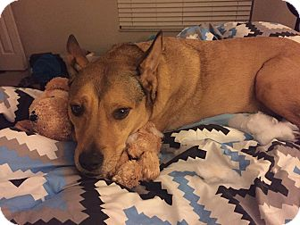 Australian Cattle Dog/Australian Shepherd Mix Dog for adoption in Oviedo, Florida - Keira