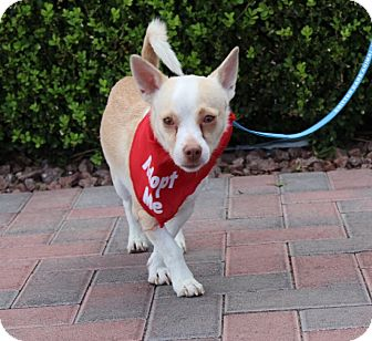 Chihuahua Mix Dog for adoption in Las Vegas, Nevada - PEPPY