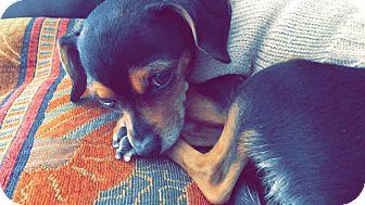 Chihuahua Mix Dog for adoption in San Dimas, California - Mamas
