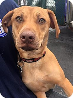 Labrador Retriever Mix Dog for adoption in Salamanca, New York - Honey