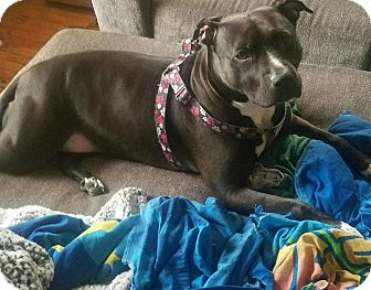 American Staffordshire Terrier Mix Dog for adoption in staten Island, New York - Molly