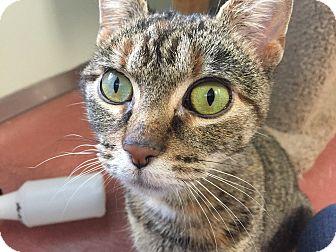 Domestic Shorthair Cat for adoption in Tioga, Pennsylvania - Amethyst
