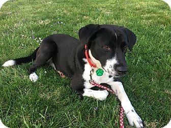 Border Collie/Labrador Retriever Mix Puppy for adoption in Allentown, Pennsylvania - Periwinkle
