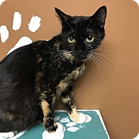 Domestic Shorthair Cat for adoption in Maryville, Missouri - Flair