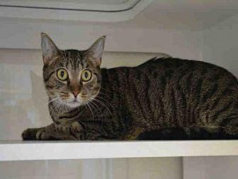 Domestic Mediumhair Cat for adoption in Miami, Florida - LUNA