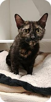 Domestic Shorthair Cat for adoption in Reisterstown, Maryland - Love