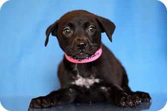 Labrador Retriever Mix Puppy for adoption in Waldorf, Maryland - French Rose