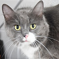 Maine Coon Cat for adoption in Huntley, Illinois - Lola