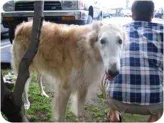 Borzoi Dog for adoption in West Los Angeles, California - Patruli