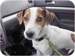 Jack Russell Terrier Mix Dog for adoption in Bay City, Michigan - Montie