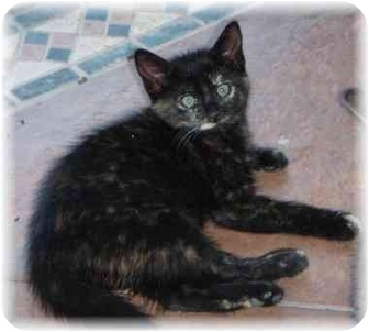 Domestic Shorthair Kitten for adoption in Naples, Florida - Connie