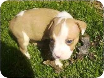 American Staffordshire Terrier Puppy for adoption in Charlotte, North Carolina - Jupiter
