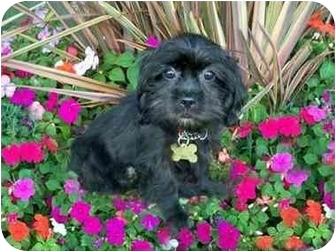 Shih Tzu/Pekingese Mix Puppy for adoption in Los Angeles, California - ERICA