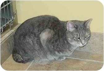 American Bobtail Cat for adoption in Bartlett, Illinois - Starr