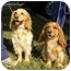 Photo 1 - Golden Retriever/Spaniel (Unknown Type) Mix Dog for adoption in FOSTER, Rhode Island - Tuggles& Puggles