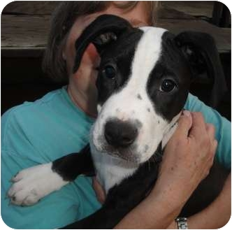 German Shorthaired Pointer/American Pit Bull Terrier Mix Puppy for adoption in Wood Dale, Illinois - Kevin Bacon