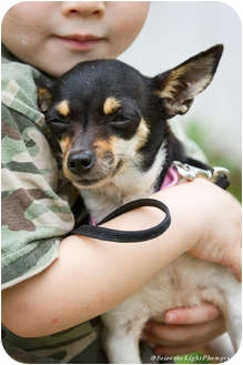 Chihuahua Dog for adoption in Bulverde, Texas - Itsy