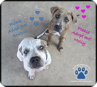 English Bulldog/American Pit Bull Terrier Mix Puppy for adoption in White Settlement, Texas - Brutus - Adoption Pending
