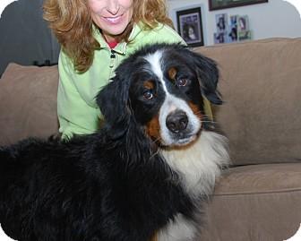 Bernese Mountain Dog Dog for adoption in Mount Gilead, Ohio - Gibbs