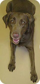 Labrador Retriever Mix Dog for adoption in Worcester, Massachusetts - Sara Bear