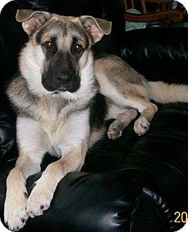 German Shepherd Dog/Husky Mix Dog for adoption in Huntsville, Ontario - Coady - ADOPTED MAY 2013