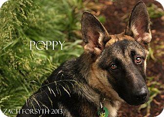 German Shepherd Dog Mix Puppy for adoption in Portland, Oregon - Poppy