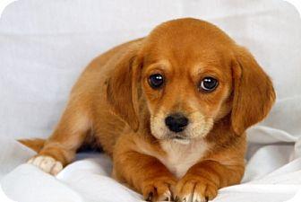 Dachshund/Beagle Mix Puppy for adoption in Newland, North Carolina - Nova