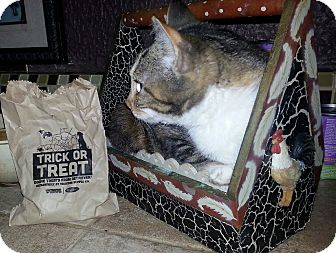 Domestic Shorthair Kitten for adoption in Harrisburg, North Carolina - Hope