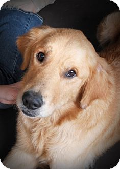 Golden Retriever Dog for adoption in New Canaan, Connecticut - Cody