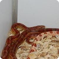 Adopt A Pet :: Corn Snake - Brooklyn, NY