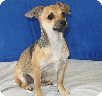 Chihuahua/Dachshund Mix Puppy for adoption in Tumwater, Washington - Micky