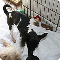 Adopt A Pet :: Lop - Brooksville, FL