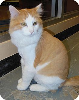 Domestic Longhair Cat for adoption in Hillside, Illinois - Butters