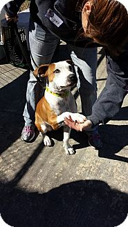 American Staffordshire Terrier/Boxer Mix Dog for adoption in sugar land, Texas - Petey