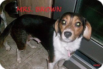 Beagle Mix Dog for adoption in Ventnor City, New Jersey - MRS. BROWN