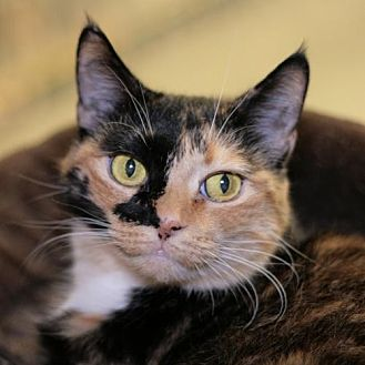 Domestic Shorthair Cat for adoption in Raleigh, North Carolina - Callie Luna