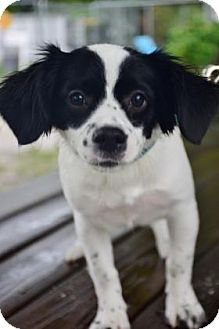 Spaniel (Unknown Type)/English Springer Spaniel Mix Dog for adoption in Bradenton, Florida - Daisy