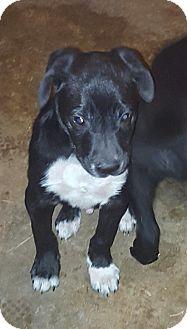 Border Collie/Labrador Retriever Mix Puppy for adoption in albany, New York - Travis