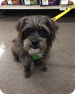 Cairn Terrier Mix Dog for adoption in Freeport, New York - Marco